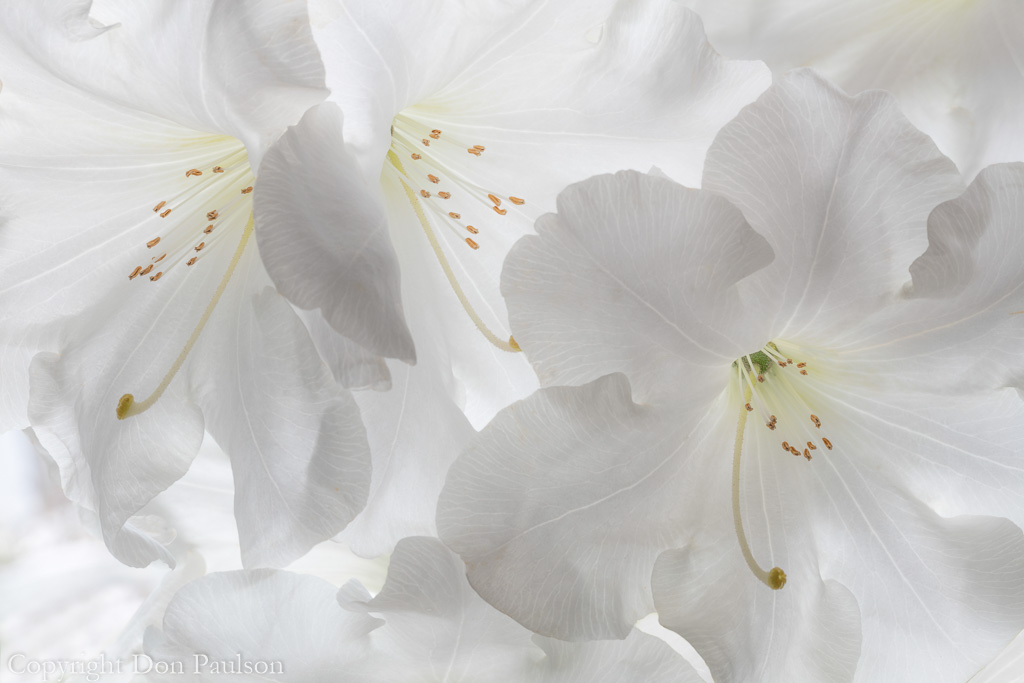 White Rhododendron blossoms
