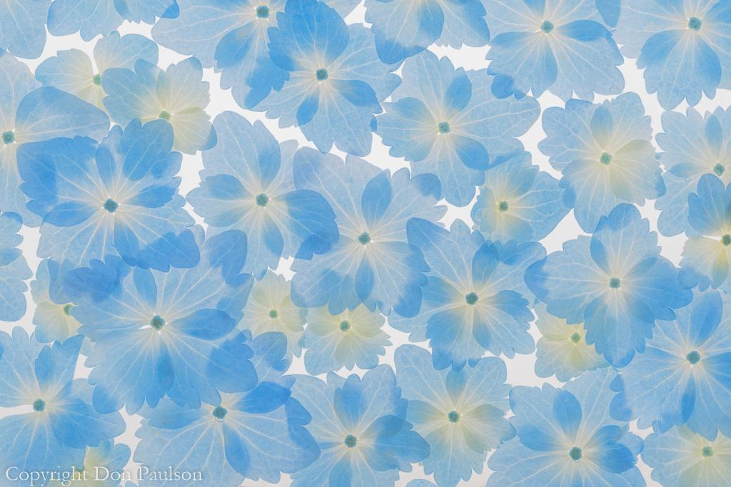 Hydrangea Blossoms - Photographed at 50.6 mega pixels