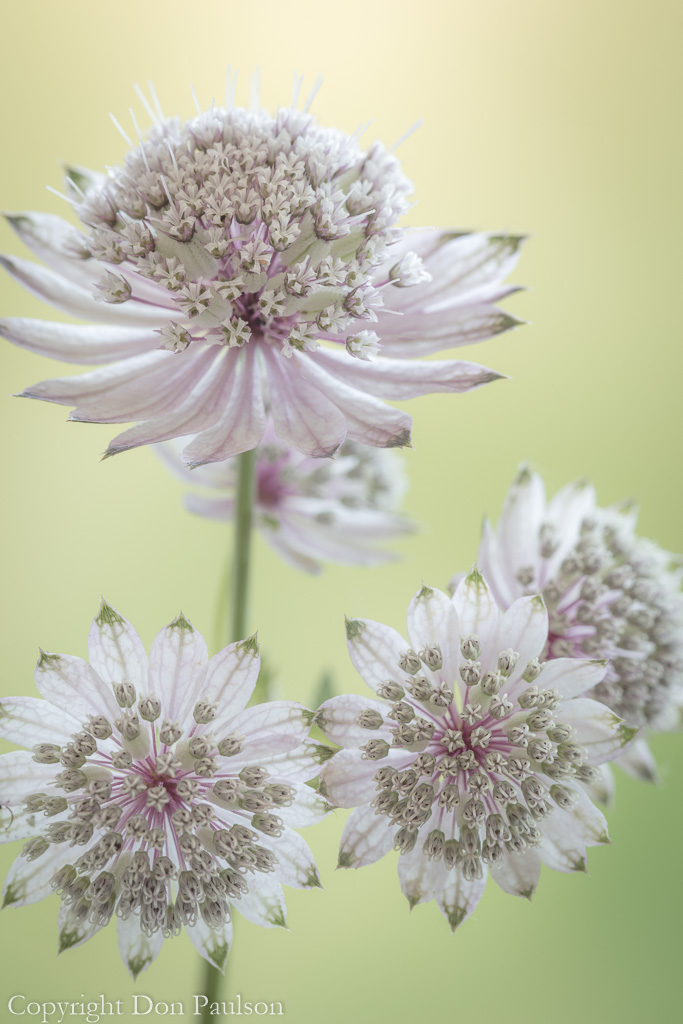 Astrantia Blossoms