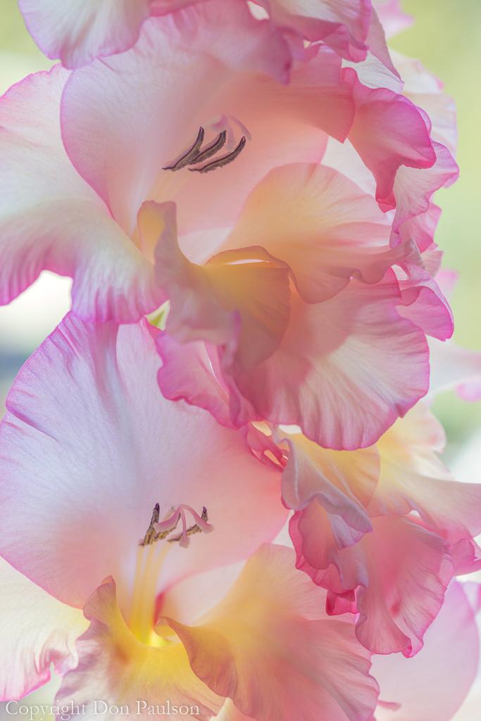 Gladiola Blossoms