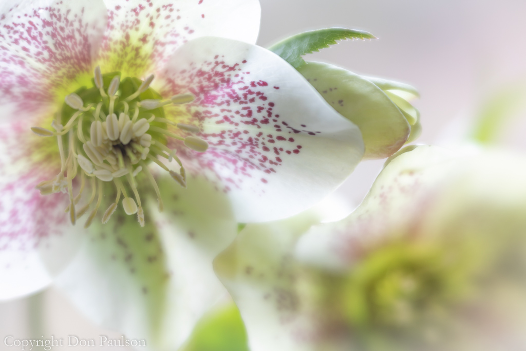 Early Spring Hellebore