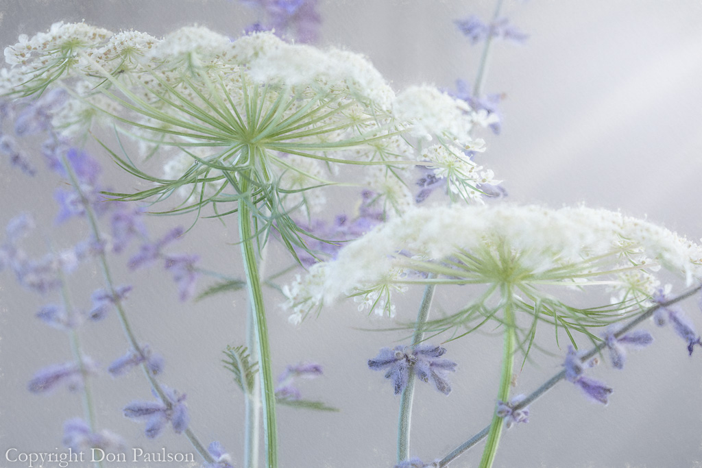 Queen Anne's lace and Russian sage