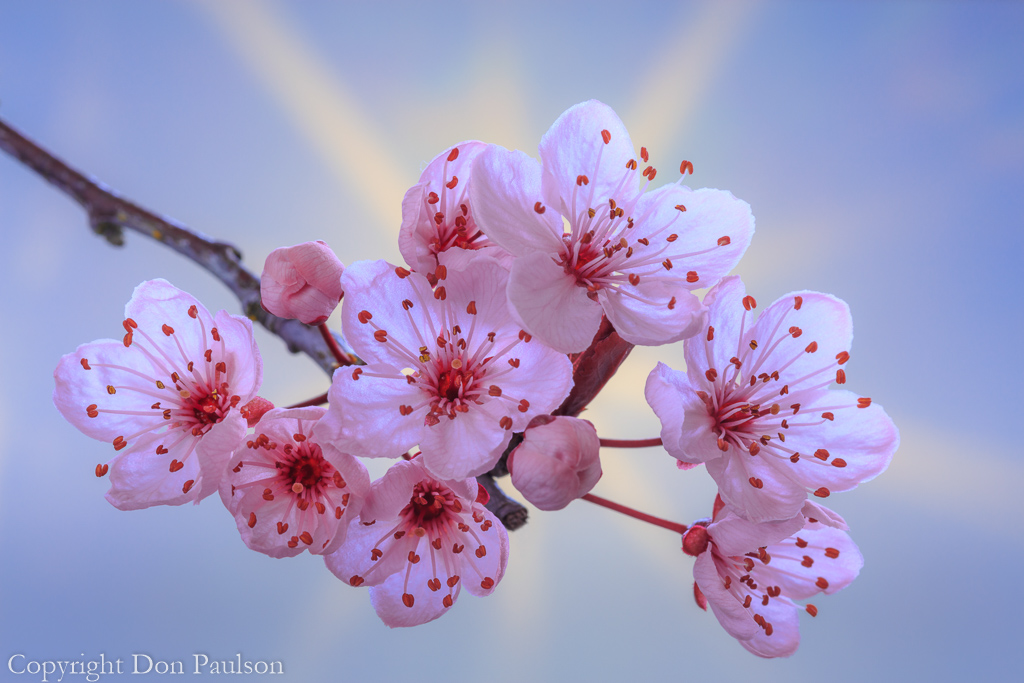 Flowering Plum Blossoms