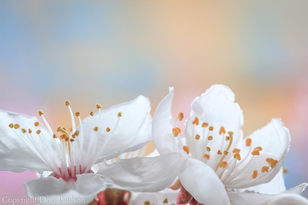 Flowering Plum #5004
