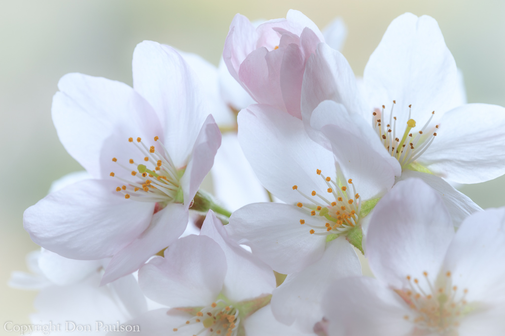 Flowering Cherry Blossoms #5225