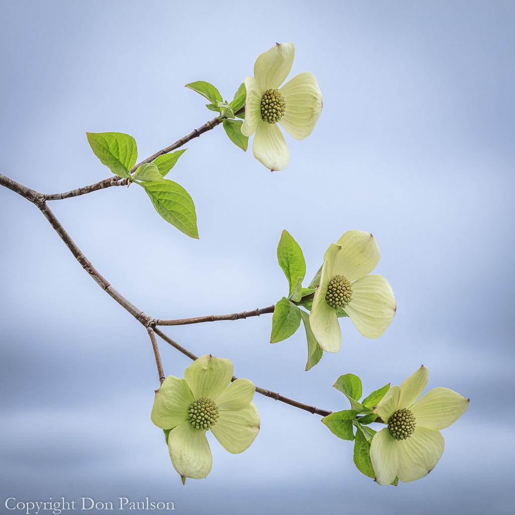 Pacific Dogwood #5487