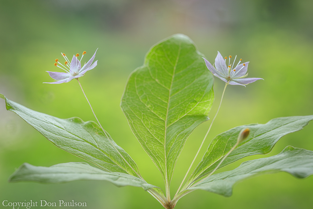 Western Starflower