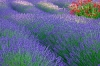 Lavender and Crocosmia garden