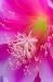 Orchid Cactus, Epiphyllum ackermannii
