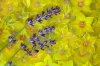 Lavender; Yellow Loosestrife blossoms; floating in water