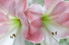 Amaryllis; Pink Diamond