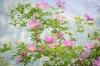 Rosa woodsii (Wood's Rose) a wild rose near Leavenworth, Washington