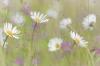 Arctic daisy, Erigeron humilis, Dundas Bay, Glacier Bay National Park, Alaska