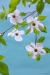 Pacific dogwood flowers, Dosewallips River, Olympic National Forest,