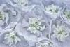Delphinium blossoms-3 (Photographed at 50.6 megapixels)