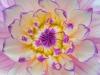 Dalhia close up (50.6 Megapixel).