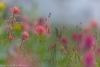 Meadow with Indian Paintbrush