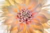 Pastel Dahlia blossom - 50.6 mega pixel image