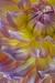 Dahlia blossom (vertical) - 50.6 mega pixel image