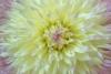 Yellow Dahlia blossom - 50.6 mega pixel image