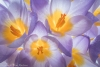 Crocus blooms - Backlit