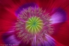 Red & Purple Poppy