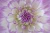 Dahlia blossom (Blue Wish variety)
