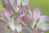 Alstroemeria Blossoms