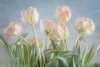 Early Spring Tulips
