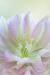 """""""Flower Girl"""" Lenten Rose"""