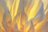 Flaming Dahlia Petals