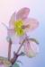 """Helleborus """"Love Bug"""" #4884"""