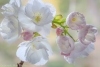 Flowering Cherry Blossoms #5256