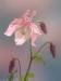 Columbine Blossom #5498A