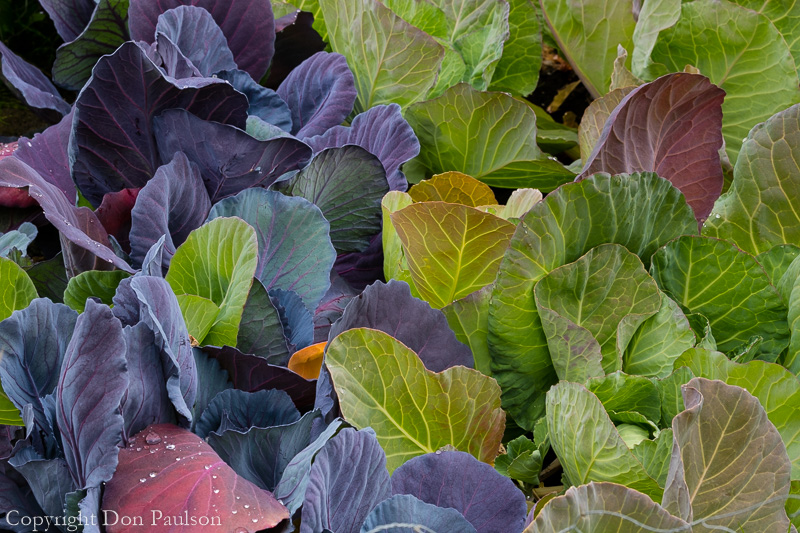 Organic cabbage - Wiseman