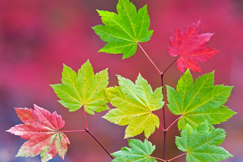Oregon; Vine Maple Leaves