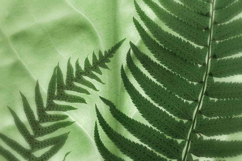 Oak Fern & Sword Fern on a Backlit skunk cabbage leaf