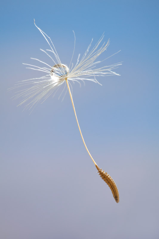 Common Dandelion Seed head