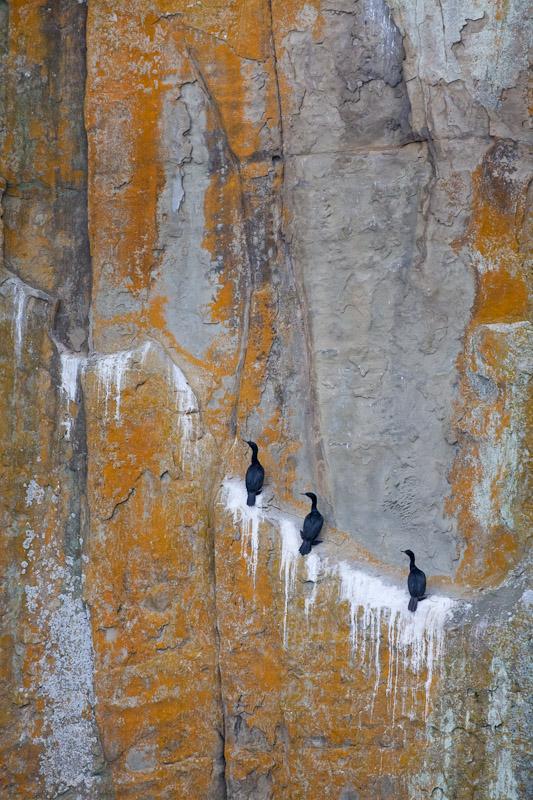 Double-crested Cormorant Colony