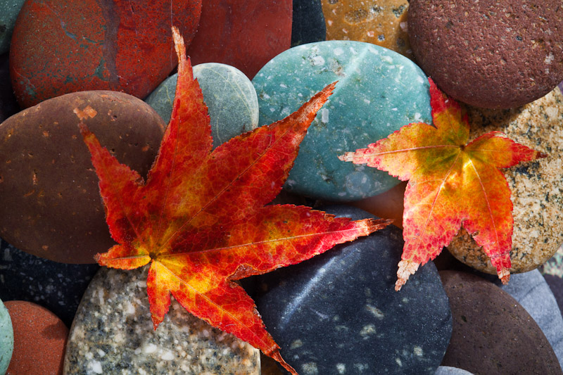 Beach Rocks and Maple Leaves