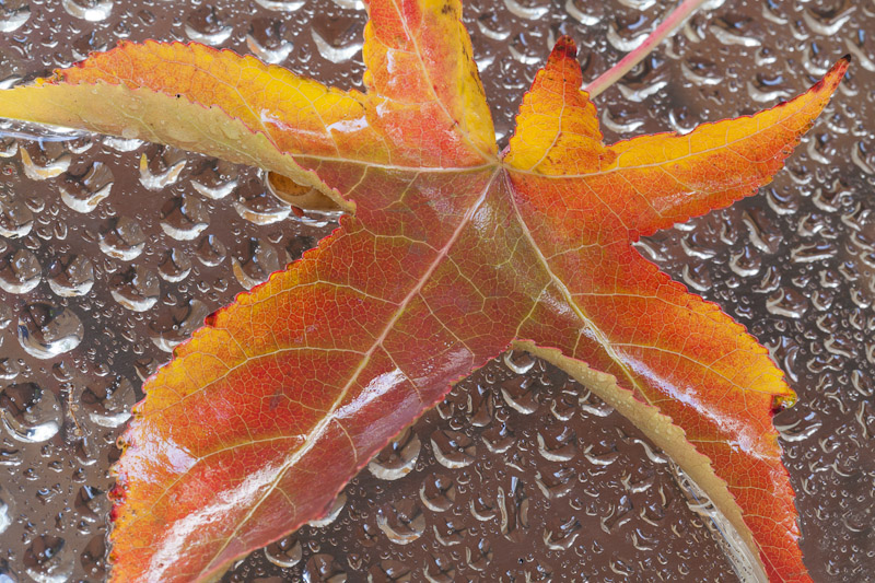 Fall leaf and water drops