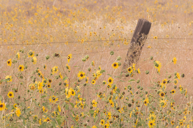 Sunflowers and Fence, near Adin, California