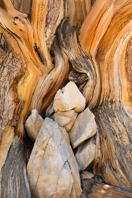 Patterns in bristlecone pine wood, Ancient Bristlecone Pine Forest, White Mountains Wilderness, Inyo National Forest, California