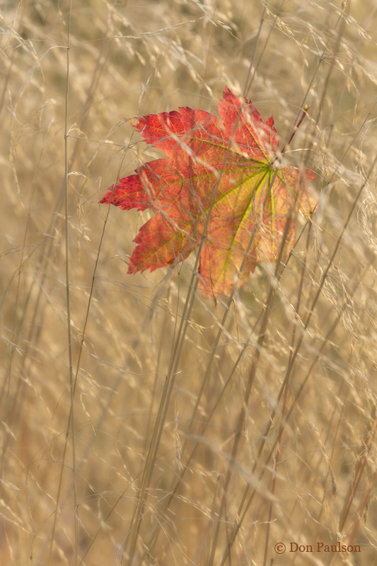Vine Maple Leaf in Grasses
