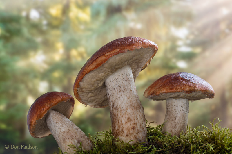 Leccinum insigne Mushrooms