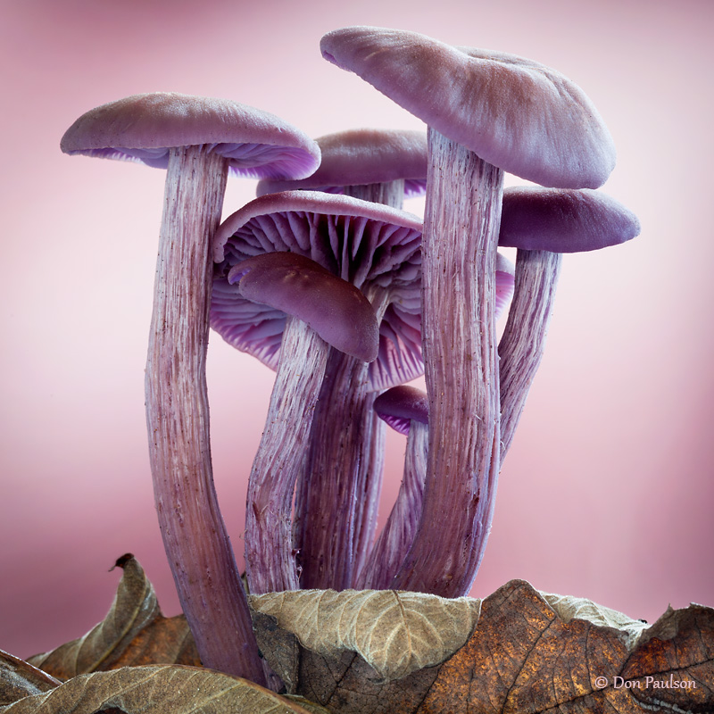 Laccaria amethysteo-occidentalis Mushrooms