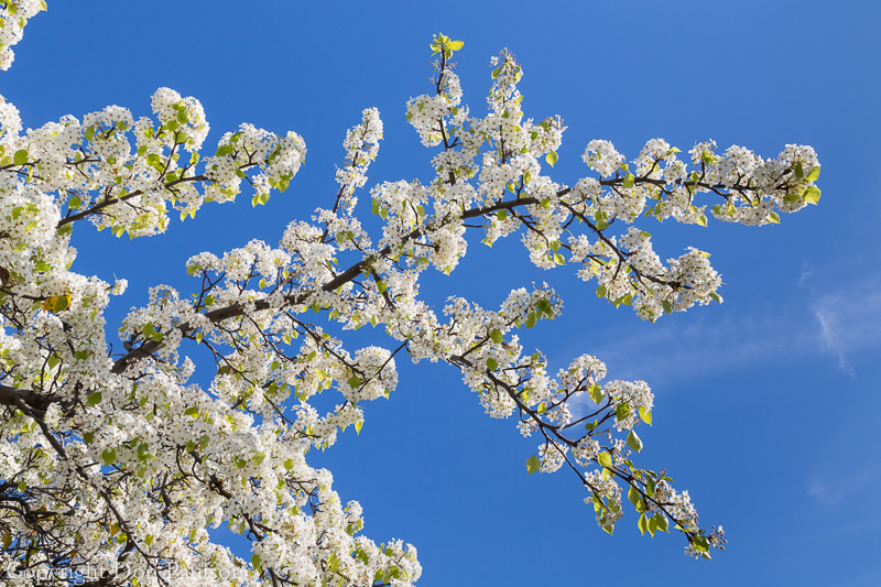 cherry tree blossoms and blue sky, San Diego, California