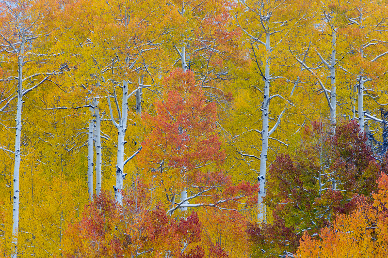 Fall aspen trees along the Cimerron Road, Colorado,