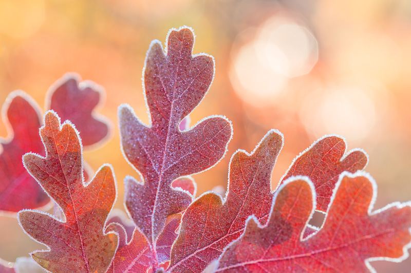 Frosty Oak leaves, San Juan National Forest, Colorado