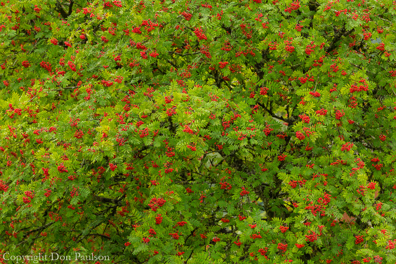 Mountain ash tree, Wrangell, Alaska